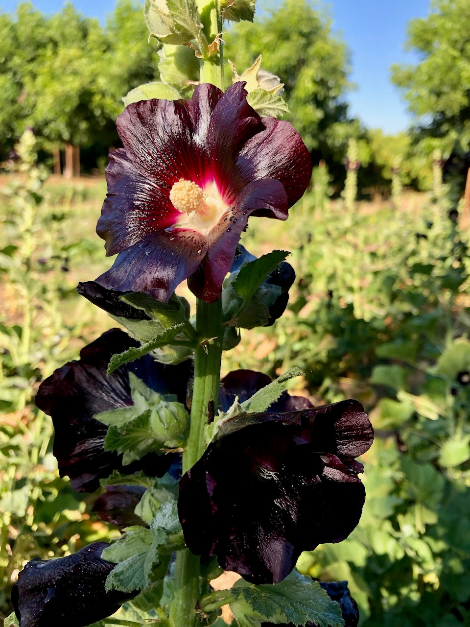 Black Hollyhock Flower