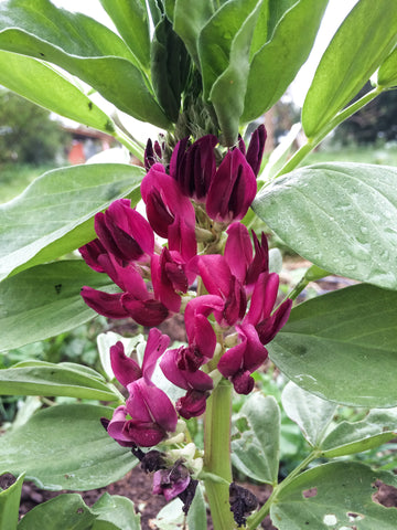 Crimson Flowered Fava