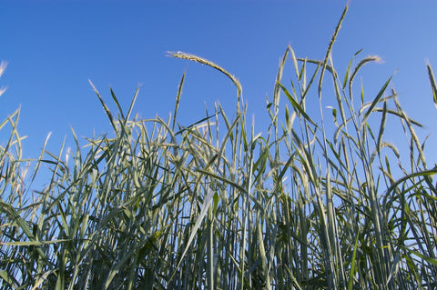 Rye stalks in field.