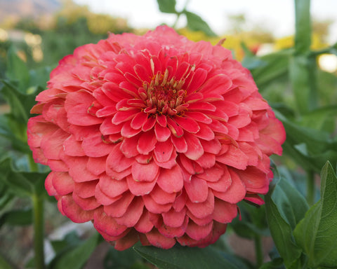 Giant Coral Zinnia Flower