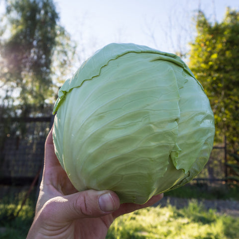 Green Express Cabbage