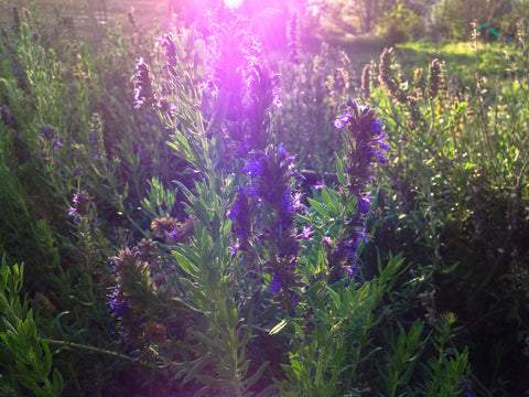 Purple-Flowered Hyssop