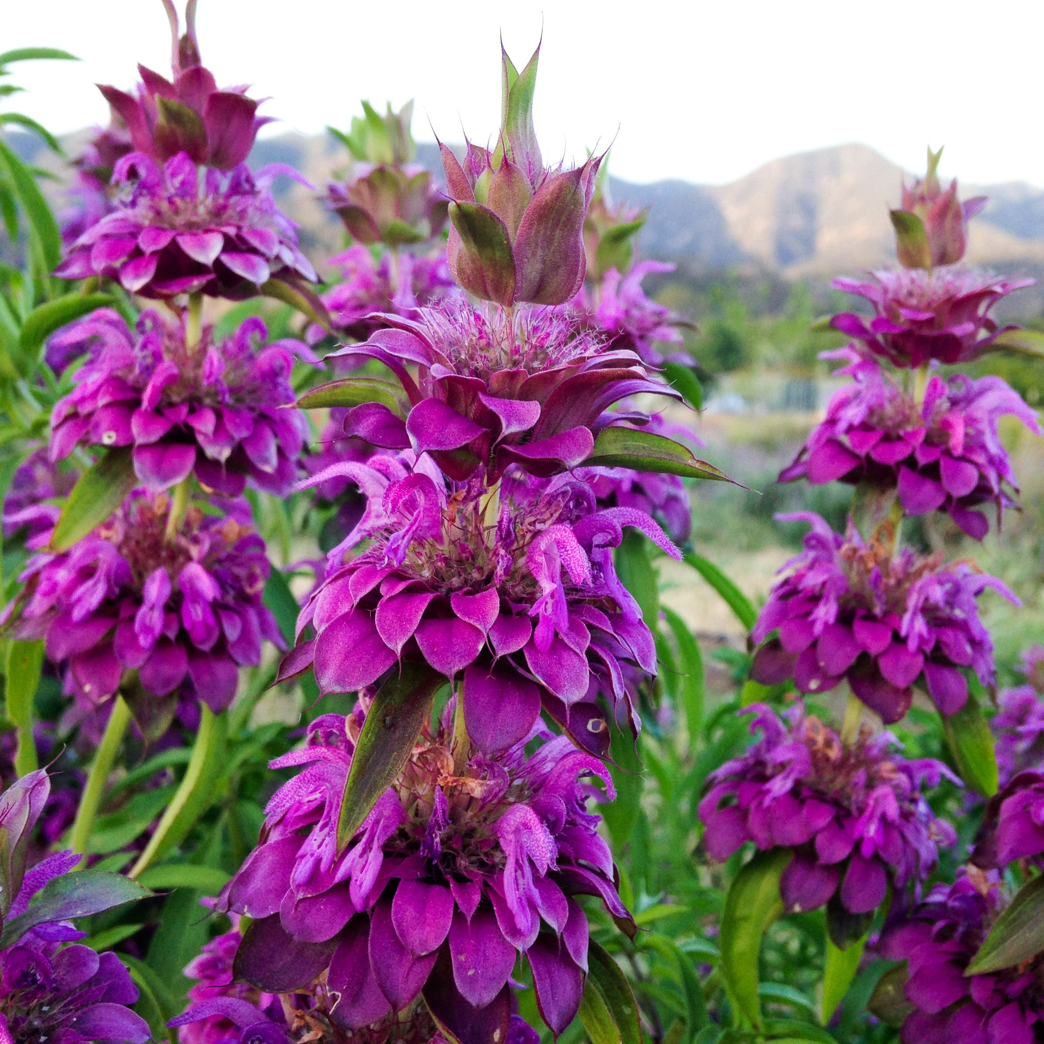 Facts About What Does Bee Balm Look Like Revealed
