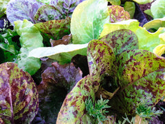 Community Supported Agriculture (CSA) Lettuce Mix