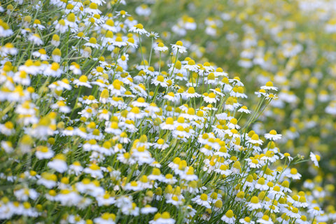 German Chamomile Flowers in Bloom. Photo by Mariana Schulze.