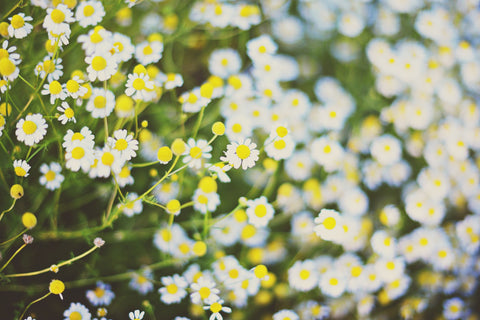 German Chamomile Flowers. Photo by Mariana Schulze.