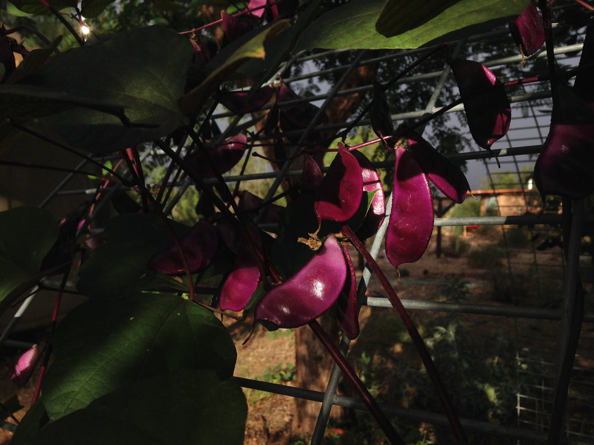 Ruby Moon Hyacinth Bean