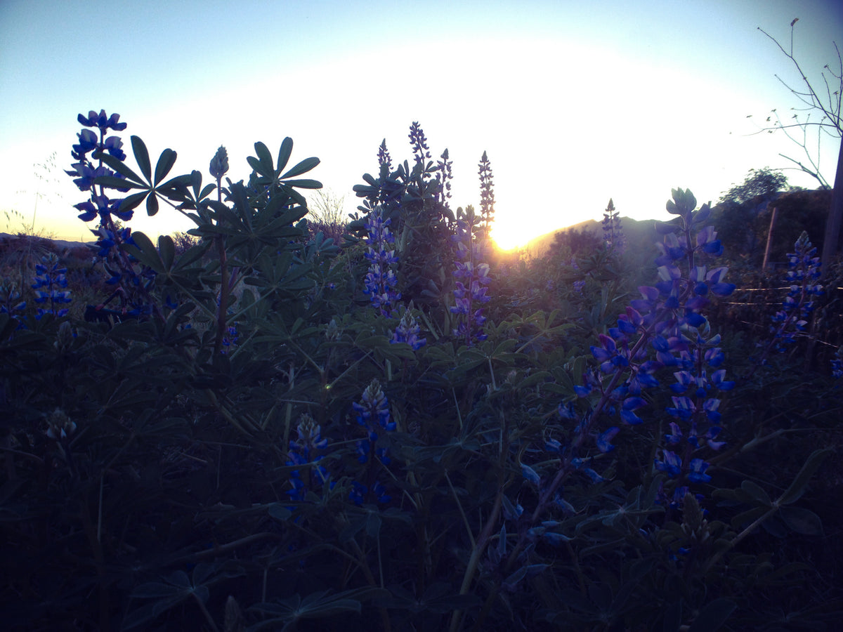Arroyo Lupine Flower