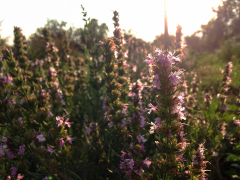 Pink Flowered Hyssop