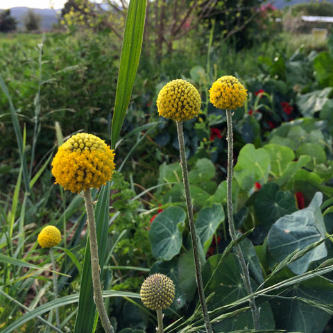 Craspedia Flower / Billy Buttons