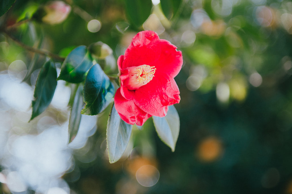 Camellia Flower Skin and Health Benefits: Fall in Love With Your Skin!