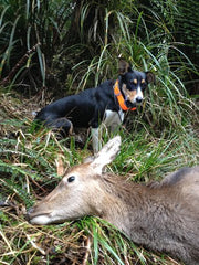 How to train a deer dog – Hunting with Fly