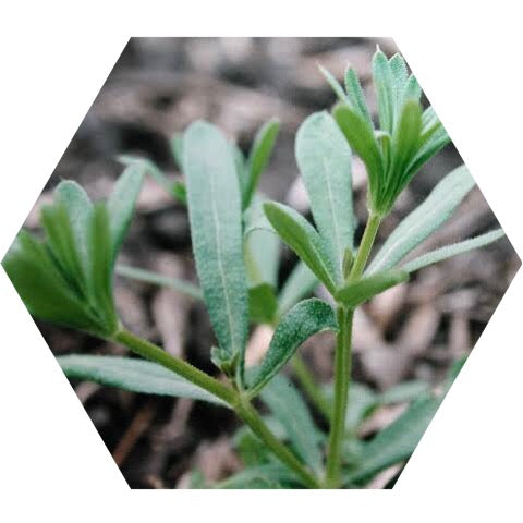 cleavers plant