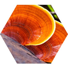 Load image into Gallery viewer, Reishi Spagyric