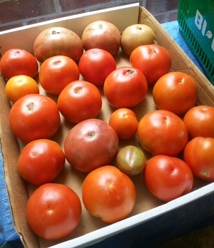 Seasonal Heirloom Fresh from the Garden Tomatoes - By the pound - Local customers only