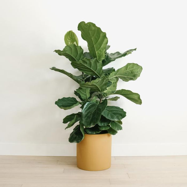Hudson + Oak Cylinder Planter Honey Mustard Rose City Goods Lightweight Indoor Outdoor Planter Ethically Made with Custom Fiberglass Compound Hand Painted in Vancouver BC