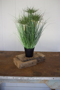 "24"" Cyprus Grass in Plastic Pot"