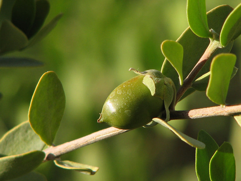 The Jojoba Difference