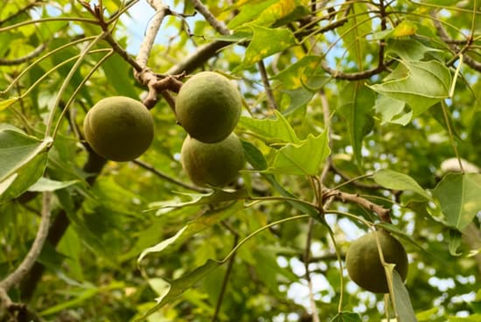 King Kukui Nut Oil