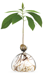AVOCADO TREE VASE
