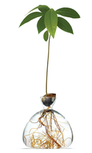 Load image into Gallery viewer, AVOCADO TREE VASE