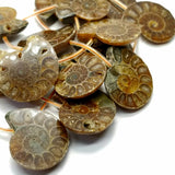 "Ammonite Fossil Slices (Free Form)(16""Strand)"