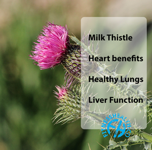 Milk thistle healthy gall bladder