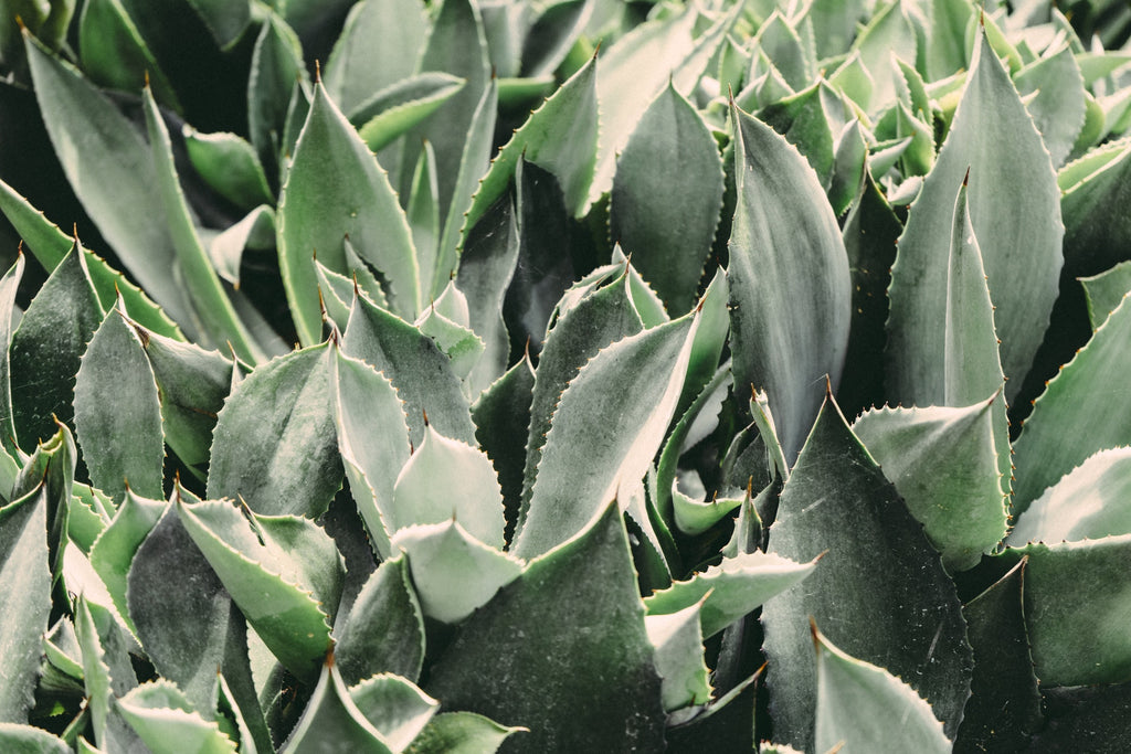 The 7 Benefits Of Intaking Aloe Vera Daily