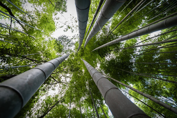 bamboo forest looking up