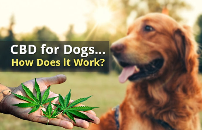 CBD Oil For Dogs: What You Should Know