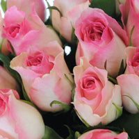 Rose Light Pink and White BiColor
