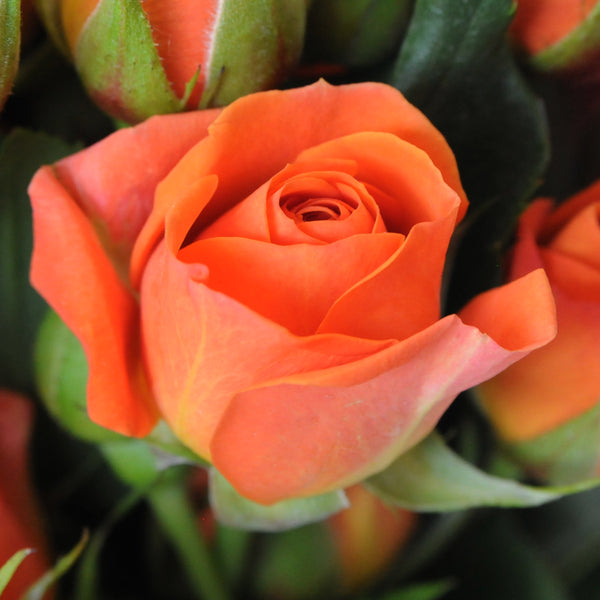 Spray Rose Orange