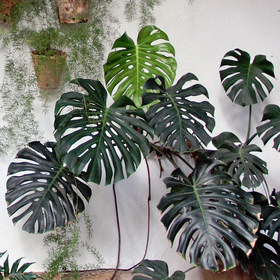 Monstera deliciosa - Frø