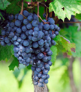 Organic Glenora Grape Seeds - 20 Seeds - Densely packed clusters, small to medium fruits, spicy flavor, USDA Zones 3b and above