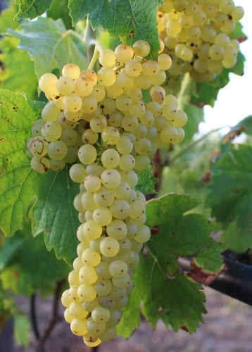 Organic Lakemont Grape Seeds - 20 Seeds - Large Seedless grape, Best for homemade raisins, Simple to grow, USDA Zones 3b and above
