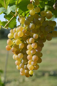 Organic Golden Muscat Grape Seeds - 20 Seeds - Extra large grapes, Average of 4-6 pound clusters, Great for wine, USDA Zones 3b and above