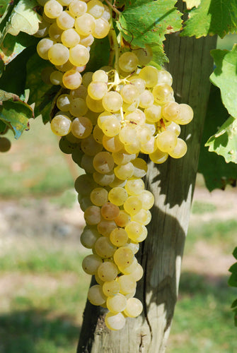 Organic Pinot Blanc Grape Seeds  - 20 Seeds - Amazing for white wine making, Mild flavor, Dense Clusters