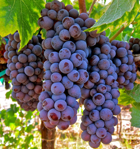 Organic Pinot Gris Grape Seeds - 20 Seeds - Mild Flavor, Great for Wine making, Dense Clusters