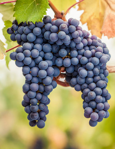 Organic Pinot Noir Grape Seeds - 20 Seeds - Most commonly used in home wine making, beautiful color and amazing taste. All USDA Zones