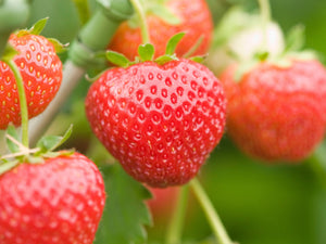 Organic Alexandria Strawberry Seeds - Easy to grow and very productive Strawberry plant 25 Seeds
