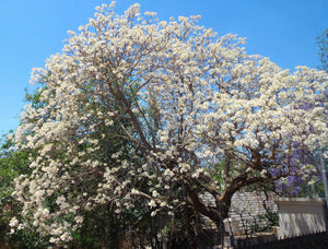 Organic Brilliant White Jacaranda Tree Seeds