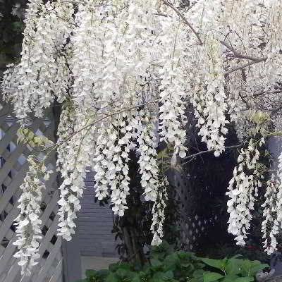Organic White Japanese Wisteria Seeds - Very Fragrant and Ornamental!!