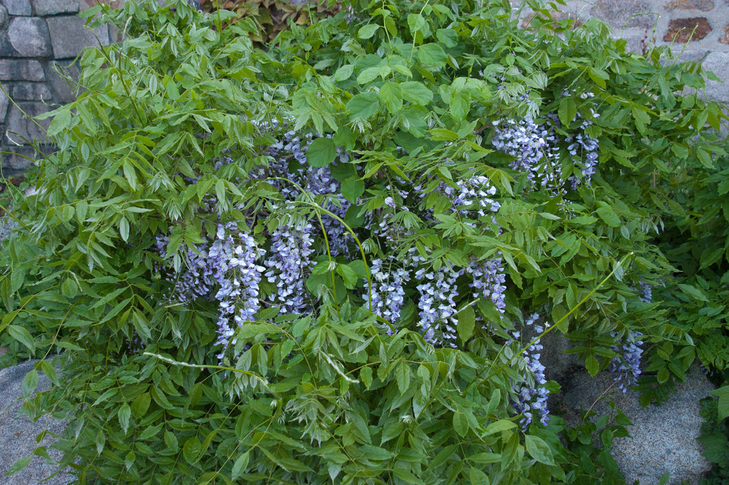 Organic Blue American Wisteria Seeds - Stunning, Beautiful Tree When Blooming