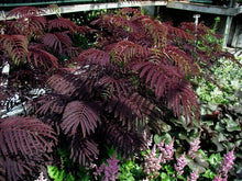 Load image into Gallery viewer, Black Mimosa Seeds -  Medium Sized Ornamental with Short Trunk, Stunning Dark Leaves and Beautiful Pink Blooms. Grown is all USDA Zones