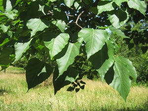 Organic Umbrella Catalpa Tree Seeds -  A Small to Medium, Bushy, Rounded Tree Useful for Tough Sites.