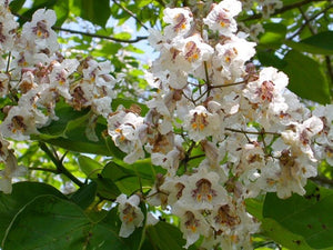 Organic Southern Catalpa Tree Seeds - Large Clusters of Showy White Flowers, and Long, Bean-like Fruit.