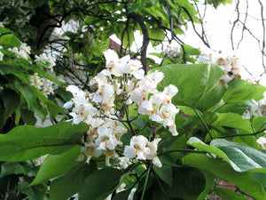 Organic Northern Catalpa Tree Seeds - Beautiful Large Showy Flowers, Heart Shaped Leaves!