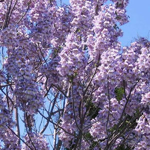 Organic Lavender Paulownia Elongata Seeds - Stunning Tree With Clusters of the Most Gorgeous Lavender Flowers