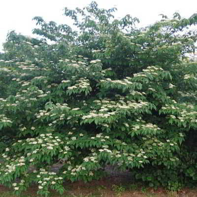 Alternate-Leaf Dogwood Seeds - A Beautiful Tree, creamy-white flowers in spring - 20 Seeds