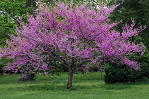 15 Western Redbud Tree Seeds-One of the first blooming trees in the west after winter. Grows in most soils and conditions. Beautiful!